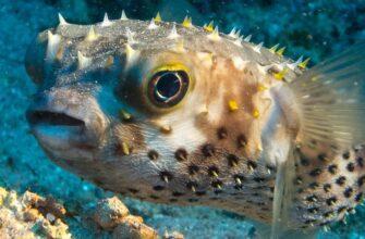 Ядовитая рыба фугу была замечена у пляжа Анталии