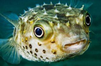 Ядовитая рыба-шар замечена у берегов Анталии